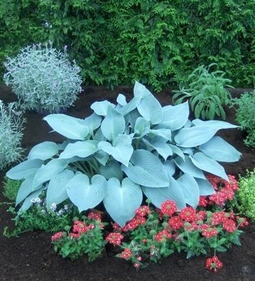 Hosta 'Canadian Blue'.  Beautiful plant combination of colors, leaf size and textures!
