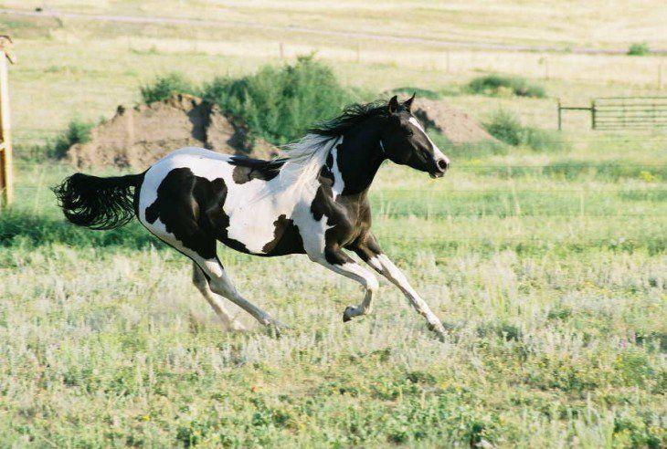 raza de caballo tobiano