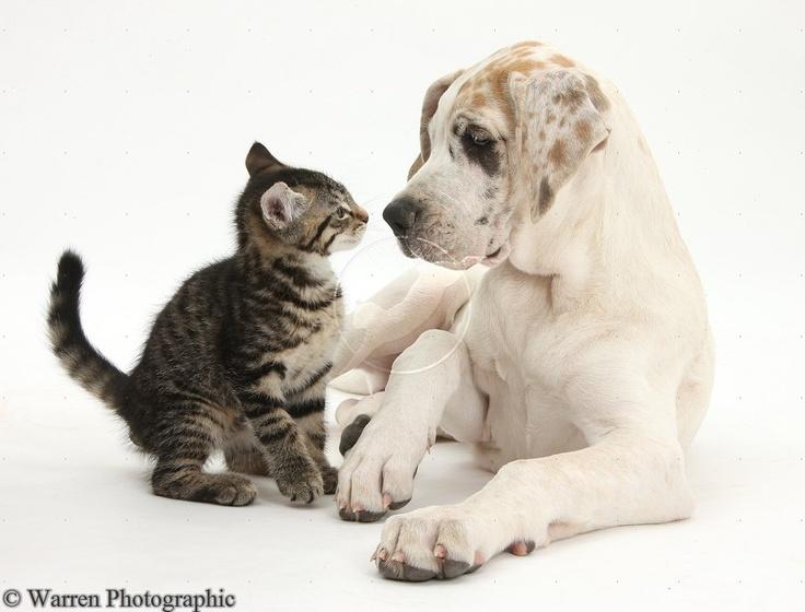 Cute tabby kitten with Great Dane puppy