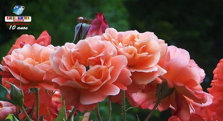 """Belíssimas rosas são exibidas durante o """"Spring Rose Festival"""" no Takanoiri Rose Garden. Confira a data de início desse festival e mais detalhes!"""