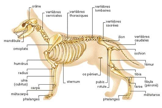 les os du chien