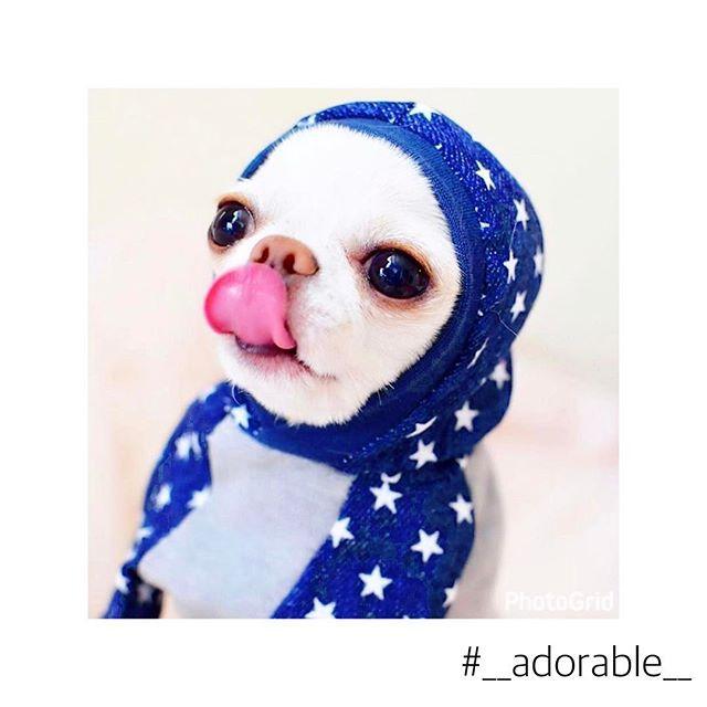 ・ ◌˳⚛˚⌖*୨୧┈︎┈︎┈︎┈︎┈︎┈︎୨୧*◌˳⚛˚⌖ @nagico1121 さんちのペロちゃん❤️✨✨ #__adorable__ のお洋服は上しか映ってないけど😂😂 ペロちゃんがあまりにも可愛すぎたのでÜPしちゃいましたあ🐶❤︎ ペロちゃんがペロペロしてて凄くかわいい~(⊙👅⊙)❤️ ◌˳⚛˚⌖*୨୧┈︎┈︎┈︎┈︎┈︎┈︎୨୧*◌˳⚛˚⌖ #ハンドメイド犬服 #愛犬 #ロンチー #ロングコートチワワ #チワワ #チワワ部 #チワワ画像 #Chihuahua #多頭飼い #犬服 #犬服ハンドメイド #アドラーブル #ドッグウエア #モデル犬 #わんこ服 #小型犬 #dog #dogstagram #dogfashion #犬服 #親バカキャンペーン #サイズオーダー #犬服ハンドメイド #犬服手作り #犬服オーダーメイド #犬服販売 #犬服ショップ #犬服作リ #__adorable__
