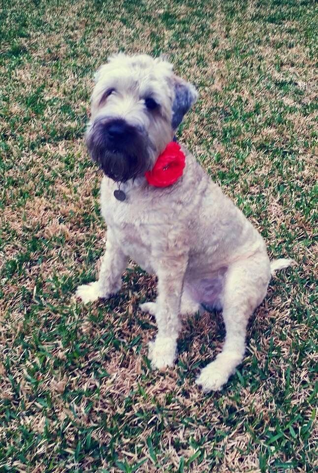 The 7 Best Coco My Wheaten Terrier Images On Pinterest Wheaten