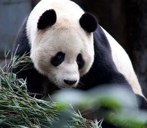 Banner Giant Panda Experience