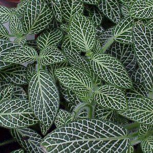 fitonnia var argyroneura nombre popular tipologa planta vivaz de hoja perenne utilizacin
