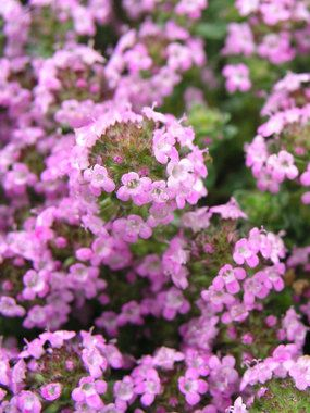 Thymus - Annie Hall (Mother of Thyme)