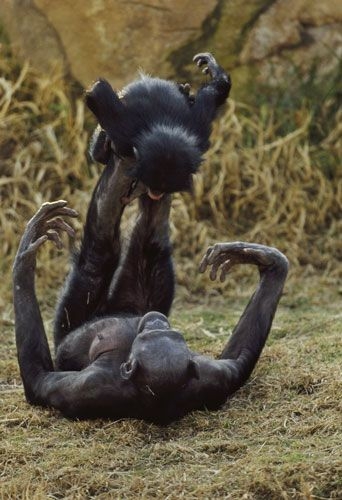 Bonobos by Franz Lanting via theguardian: A female bonobo plays with an infant. #Bonobo #Play
