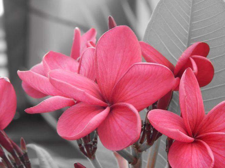 Frangipani by Renie A. Priyanto - Flowers Flower Gardens ( pink frangipani, red frangipani, frangipani, grey, flower )