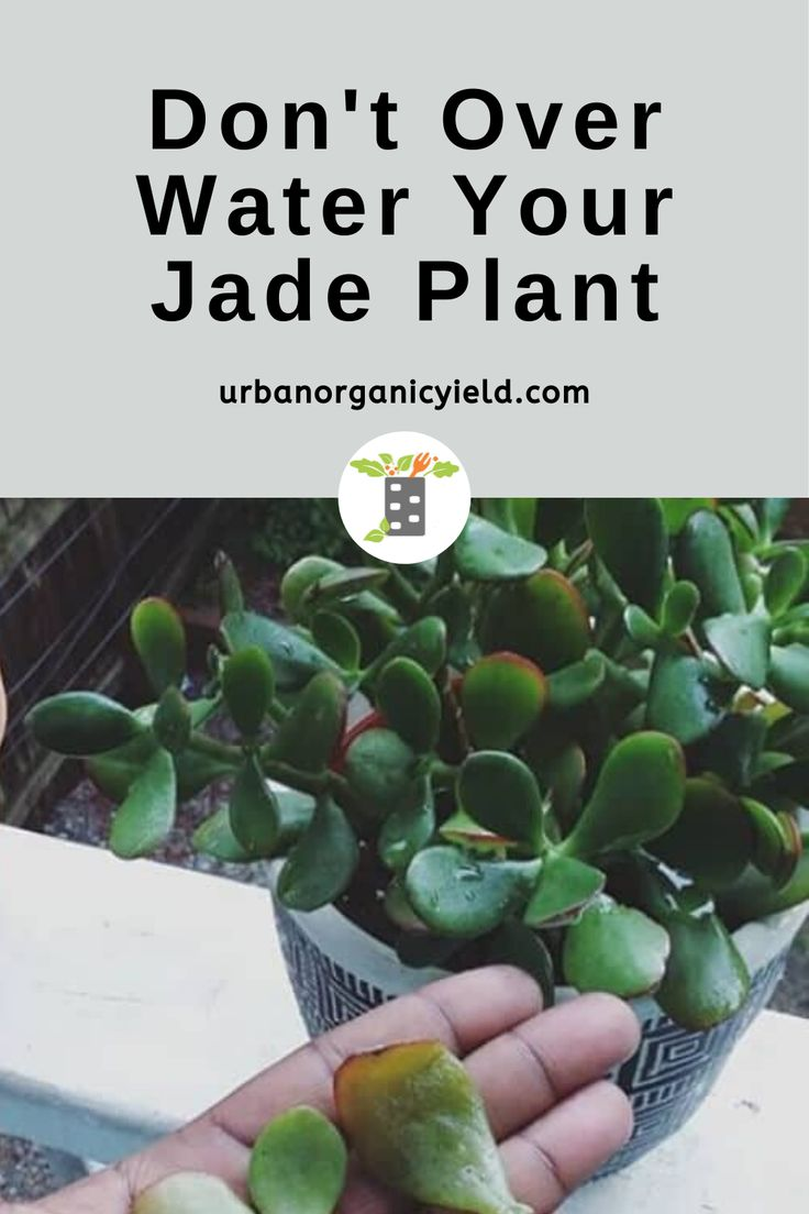 How Often To Water Jade Plant? Overwatering Or ...