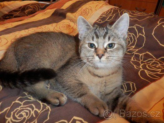 Daruji čtyřměsíční koťata, matka britská kočka.