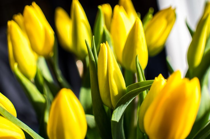 #tulips -  #Panasonic  G6 with Sigma 30mm @ f/2.8. PP in  #Lightroom5 . Natural light.
