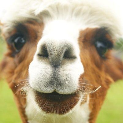 Alpaca close-up