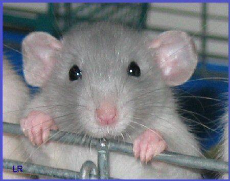 Cute Ratty