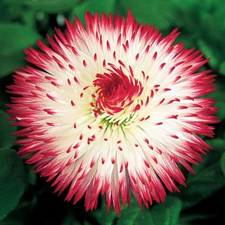 A perennial English Daisy (Bellis) with rayed double blooms of red-tipped white.