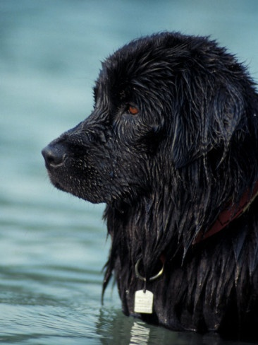 Newfoundlands were bred to rescue sailors when they fell from the old whaleing ships.  Labrador retrivers were bred from Newfi's....