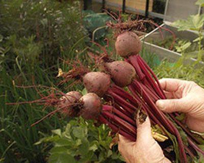 Bij het combineren van gewassen willen natuurlijk dat onze planten in de moestuin een gunstige invloed op elkaar hebben. Maar welke gewassen moet je nou wel en niet combineren? Bekijk de tips voor combinatieteelt via de onderstaande link.