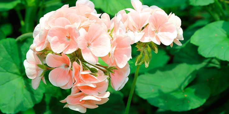 Rose-scented Geranium – Pelargonium graveolens  This is one plant no garden should be without. Just a small bunch of fresh leaves under your pillow will calm and soothe you so comfortingly you'll become enchanted with it!