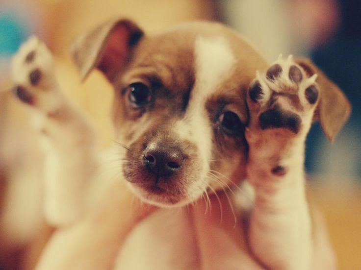 Un chien peut comprendre 300 ordres et assimile très vite les nouveaux exercices que vous lui demanderez de réaliser. La règle de base : une récompense...