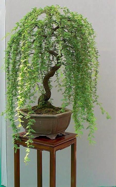 Bonsai so delicate looking