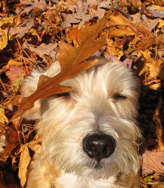 autumn wheaten
