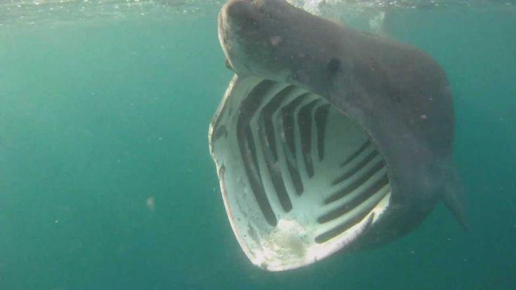 Basking Sharks Cornwall
