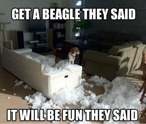 Anyone who has ever had a beagle will understand!