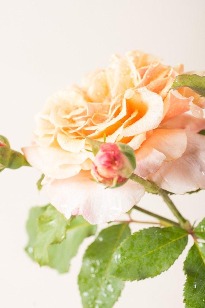 Rose Caramella ® - Rosa Caramella ® günstig online kaufen