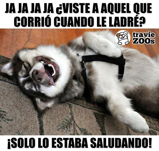 No Aguantan Nada Husky Malamute Alaskan Siberiano Perros Dogs Memes Perros Perros Frases Cosas Para Perros