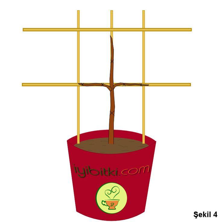 Espalier : Saksıda Meyve Ağacı 4