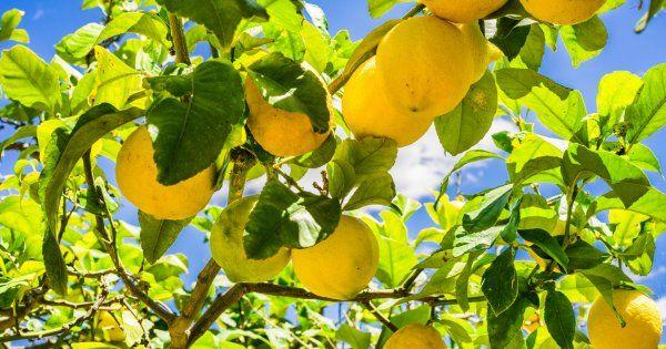 Agrumes Quand Et Comment Les Tailler Articles Preferes Garden Et Little Gardens