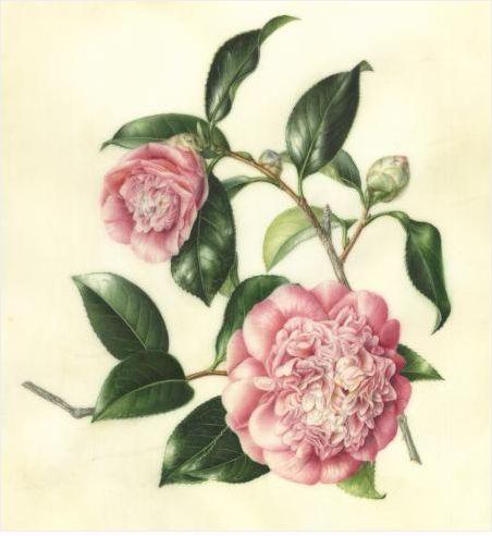 Camellia japonica 'Chandleri Elegans', Variegated Camellia, by Akiko Enokido, © 2012,