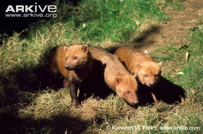 Three bush dogs