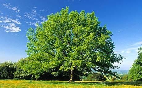http://i.telegraph.co.uk/multimedia/archive/01574/p_oak-tree_1574280c.jpg (14/11/2013)