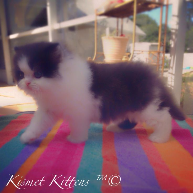 A Beautiful Example of our #Bicolor #DollFace #Persian #Kittens here at #KismetKittens New Litters Coming Soon! To Reserve: Text: 813-409-8418 Email: Persiankittyinfo@aol.com Web: www.KismetKittens.com