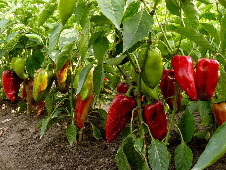 Tipps zum Paprika-Anbau