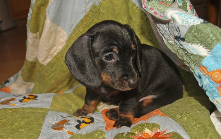 Charlie Smooth Black/Tan mini dachshund 7 weeks old