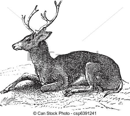 Vector - Mule deer or Odocoileus hemionus vintage engraving - stock illustration, royalty free illustrations, stock clip art icon, stock clipart icons, logo, line art, EPS picture, pictures, graphic, graphics, drawing, drawings, vector image, artwork, EPS vector art