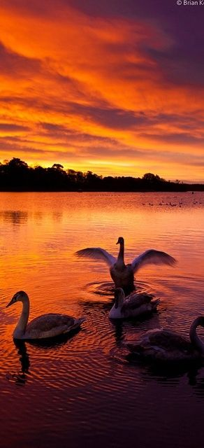 Sunrise with swans