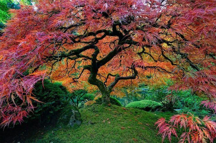 AJapanese maple tree, Oregon, USA