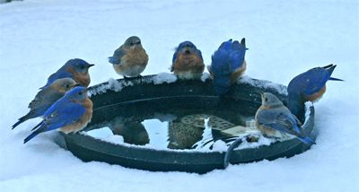 """Thirsty bluebirds """"hang out"""" at the water trough. A special bird bath heater keeps the water from freezing.  This site also has a recipe and ideas for feeding birds."""