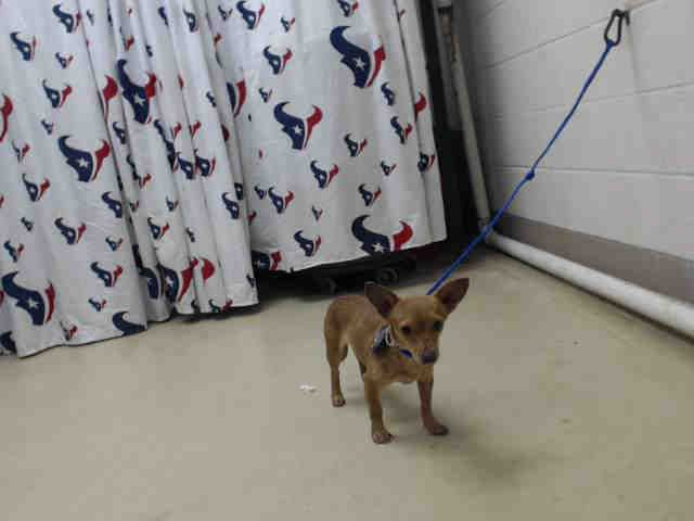 1/23/17-SUPER URGENT - HOUSTON -    This DOG - ID#A476009  I am a female, brown Chihuahua - Smooth Coated.  My age is unknown.  I have been at the shelter since Jan 21, 2017.  This information was refreshed 44 minutes ago and may not represent all of the animals at the Harris County Public Health and Environmental Services
