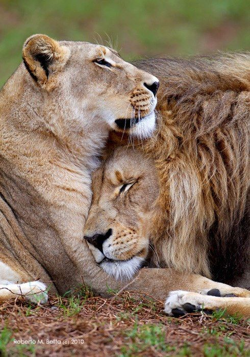 Lion Love by Roberto M. Betta....incredible beauty. what a gifted photographer..he captured a sweet, tender moment I have rarely seen. LOVE.