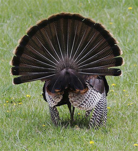 Wild turkey <3