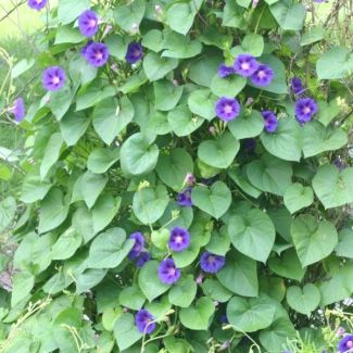 Purple morning glory | Ipomoea indica - Remove from garden. It forms dense perennial growth that overtops and smothers other species. CARA 2002 – Category 1 in Limpopo, KZN, Mpumalanga, and Category 2 rest of South Africa Proposed legislation: NEMBA – Category 1b Source: invasives.org.za
