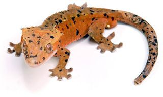 This group is descended from a very small group of crested geckos imported from Germany in the late 1990's. Description from acreptiles.com. I searched for this on bing.com/images