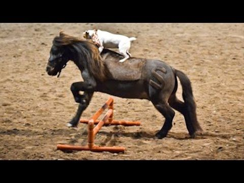 A Jack Russell Climbs Unto a Miniature Horse. Then, The Unthinkable Happens! It's Dally and Spanky!!!