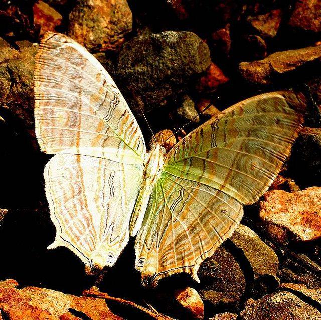https://flic.kr/p/7GG8eu | MARBLED MAP Cyrestis cocles,  Kaeng Krachan National Park, Thailand