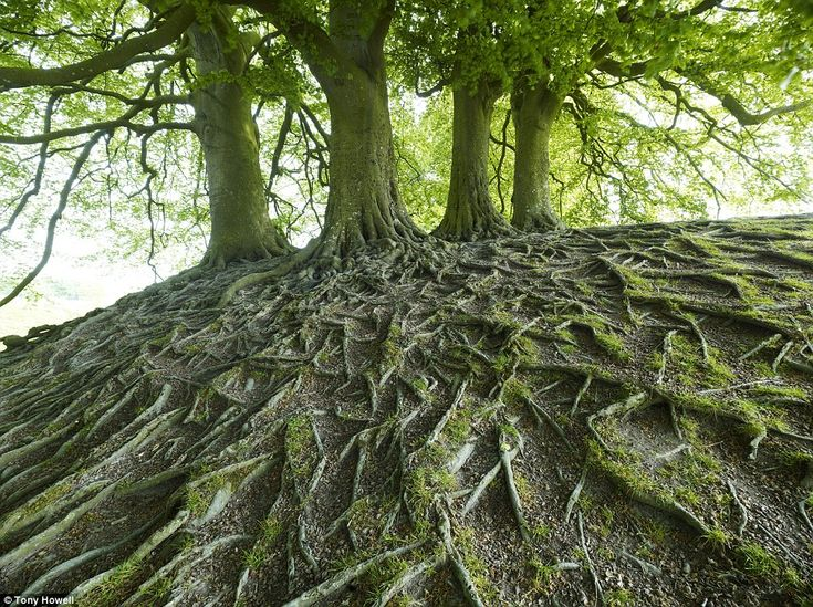 Getting to the bottom of it: This captivating image of beech tree roots in Avebury, Wiltshire, show the complexity of the woodland base.