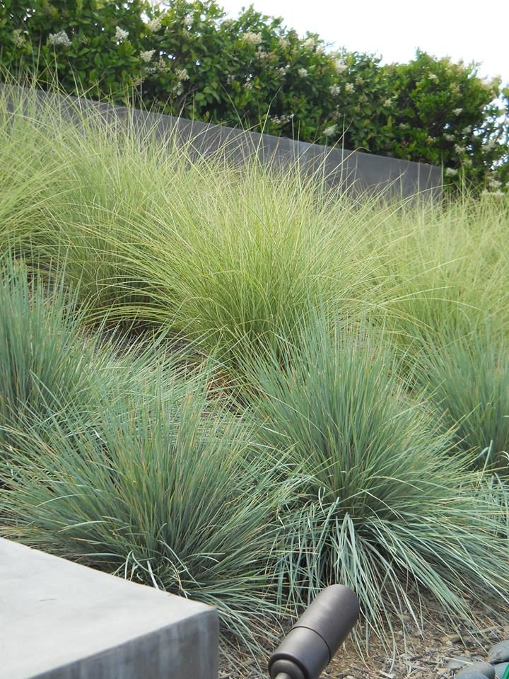 118 best images about ca friendly gardening landscapes by for Ornamental oat grass varieties