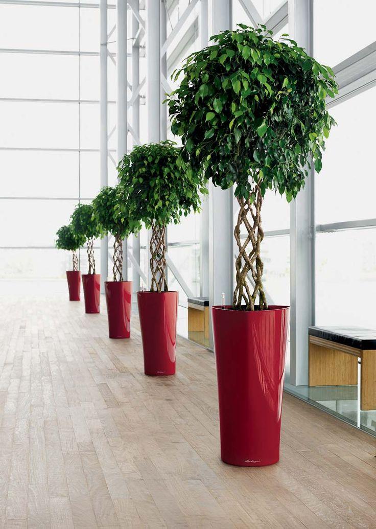 Для фойе, офисов часто устанавливают напольные большие фикусы и аккуратно подстриженной шаровидной кроной